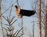 Owl Going Down.jpg