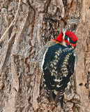 Red-breasted Sapsucker x Red-naped Sapsucker