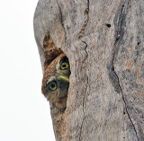 Owls of Costa Rica
