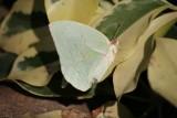 Catopsilla pomona pomona