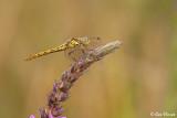 Vagrant Darter / Steenrode Heidelibel