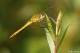 Dragonflies / Libellen