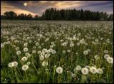 Dandelions (Maskrosor) Grimslöv