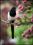 The Magpie - an exotic looking bird in my garden....