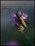 Musk Beetle (Myskbock) - Södra Möckleby
