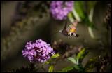 Hummingbird Hawkmoth (Större dagsvärmare) in my garden - Grönhögen Öland
