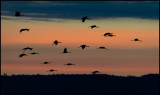 Cranes flying in to the feeding areas at dawn