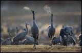 Lake Hornborga Cranes