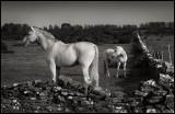 Horses at Gettlinge - Öland