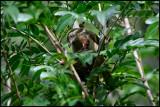 Nest of Ferruginous Babbler with chick in Dusit hotel garden
