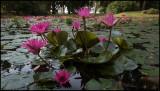 Red Lotusflowers