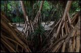 Mangrove at Maya Beach