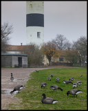 Brent Geese in Ottenby (and no birdwatchers....)