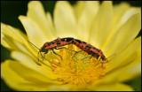 Black-and-red-Bugs (Riddarskinnbaggar) - Öland