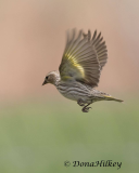 Songbird  Gallery