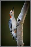 Red-bellied Woodpecker (Melanerpes carolinus)