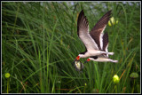 Black Skimmers with Perch