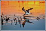 Black Skimmer at Sunrise