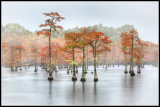 Cypress Trees in Fall Colors