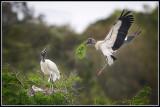Wood Storks at Nest