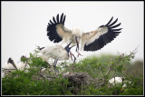 Wood Storks, Dramatic Arrival