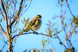 Warbler on branch