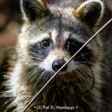 Raccoon stare