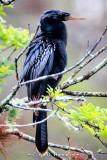 Anhinga in tree