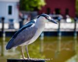 Village heron