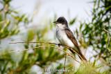 Posing kingbird