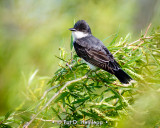 Kingbird on green