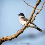 Kingbird, blue sky