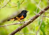 Redstart profile