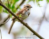 Quiet Song Sparrow