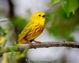Warbler song