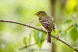 Flycatcher from behind