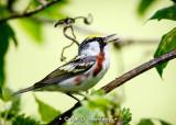 Singing chestnut