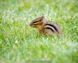 Chipmunk in grass