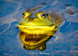 Frog reflected