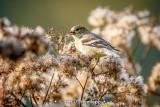 Finch in field