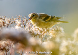 Backlit finch