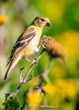 Finch and flower