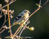 Sunny goldfinch
