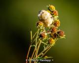 Goldfinch buffet