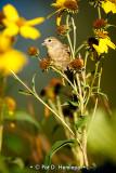 Field finch