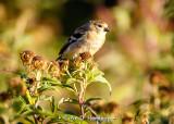 Finch in fall field
