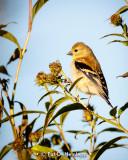 Finch, field, sky