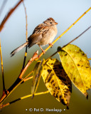 Fall Field Sparrow