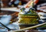 Frog in wetlands