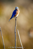 Bluebird in sun